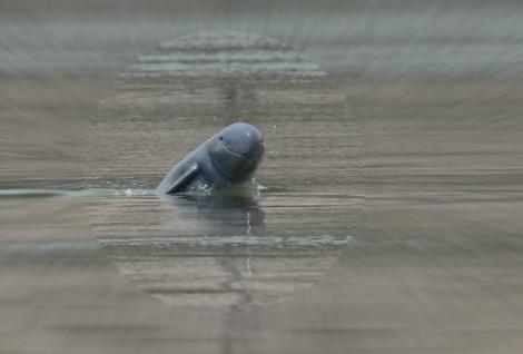 110124064215Cambodia dolphin