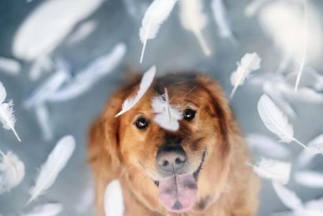 dog-photography-chuppy-golden-retriever-jessica-trinh-14