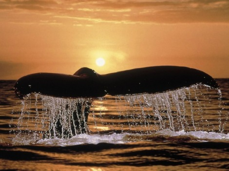 humpback-whale-tail-normal