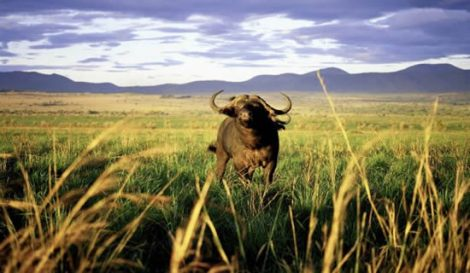 Kidepo-Valley-National-Park-Buffalo-Instinct-Safaris-2013