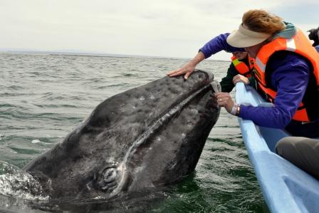 petting-gray-whale