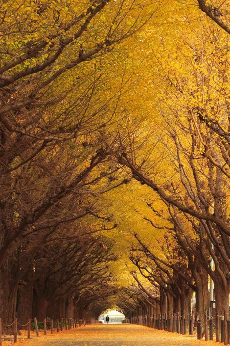 amazing-tree-tunnels-10 ginkgo tree tunnel japan
