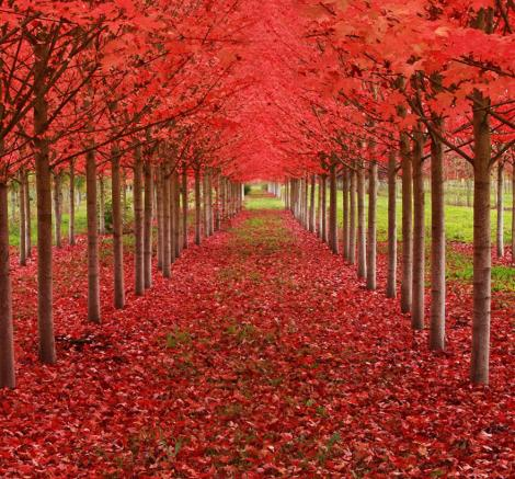 amazing-tree-tunnels-13 Maple Tunnel in St. Louis, Oregon, U.S.A.