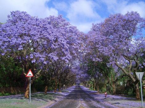 amazing-tree-tunnels-16 jacarandas walk south africa