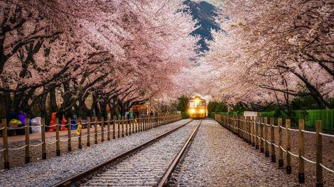 amazing-tree-tunnels-21 Gyeonghwa Station in Jinhae, South Korea