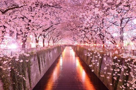 amazing-tree-tunnels-5 Sakura Tunnel, Japan