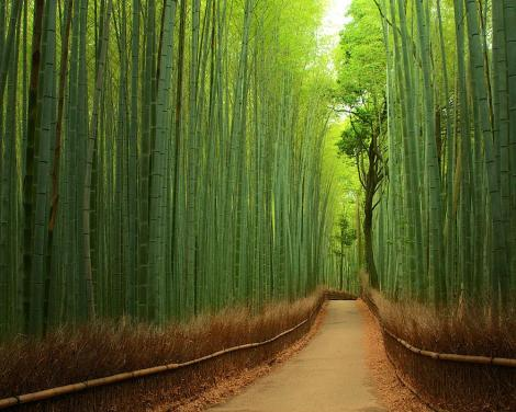 amazing-tree-tunnels-6 bamboo path kyoto japan