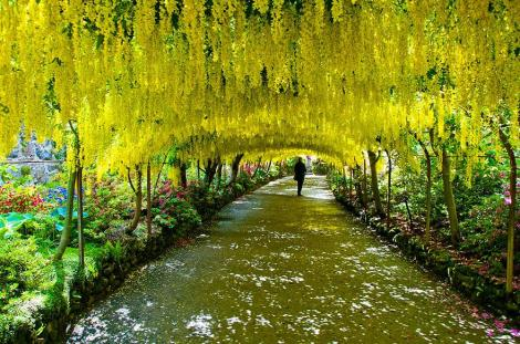 amazing-tree-tunnels-8 Laburnum Tunnel in Bodnant Gardens, UK