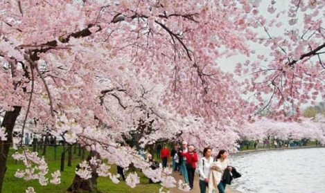 cheery blossom festival