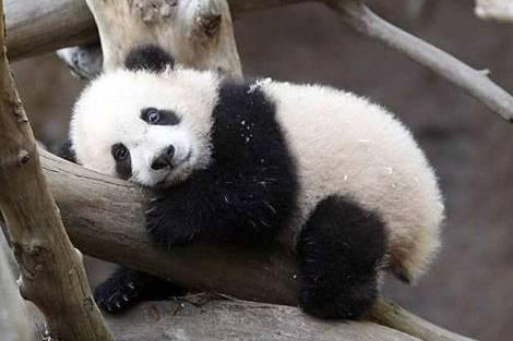 panda reserve 1
