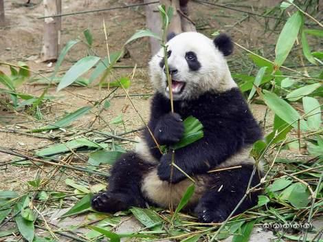 panda reserve 1c
