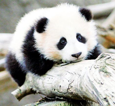 panda reserve 1d