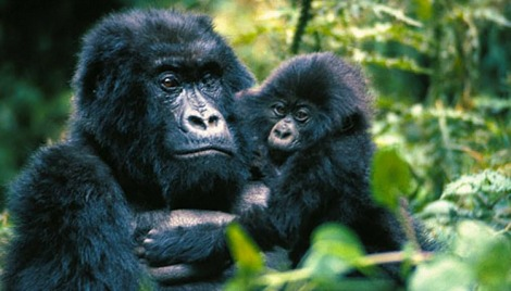 Gorillas in Congo