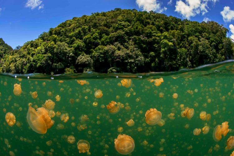 Jellyfish-lake-2