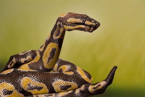 python-royal